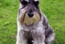 Schnauzers / If you are interested in posting on this board, please let me know and I will add you to post. You can email me at drpattyverdugo@cipay.org