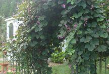 Hyacinth bean arch / Seeds