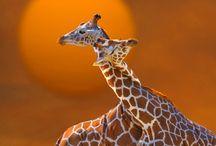 Gotta Love a Giraffe