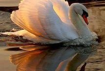 Swans-Κυκνοι