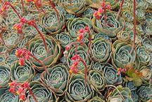 Succulent Stuffs / succulents, cacti, cactus