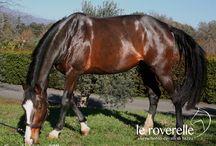 "Jumping Horses - allevamento ""le roverelle"" / Holstein Horses - Jumping - Dressage - foals - puledri - cavalli da salto - allevamento cavalli - cavalli in vendita"