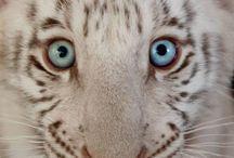 tygrynio