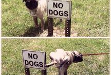 Rebelious Pugs