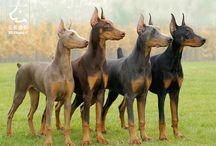 doberman / dog