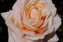 Roses for my garden
