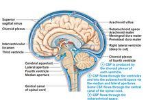 neuranatomie