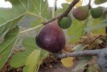 Pestovanie ovocie