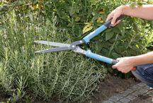 Garten - Lavendel schneiden