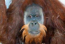 Orangutan Beards