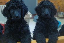 """Poodle Cuts / Looks for Nola """"Bootsey"""""""