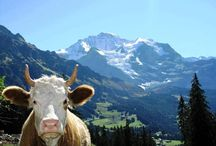 Swiss Cows & more / Cows, Goats & other typical Swiss Animals