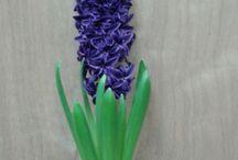 new hyacinths / door veredeling verkregen hyacinten rassen