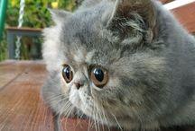 Exotic cat shorthair
