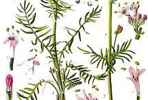 Plants/Herbs
