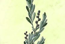 bothanical illustrations
