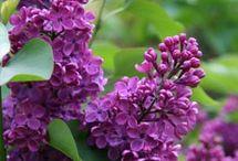 Lilacs / Lush and fragrant lilacs