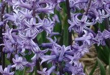 Hyacinth Bulbs / The name Hyacinthus comes from Greek mythology. Hyacinthus was an athlete who was adored by Apollo. According to legend, he died as the result of an accident during a discus-throwing match and from his spilled blood grew a flower that we know today as the hyacinth. The hyacinth is a bulbous plant from the Asparagaceae family, which originates from the eastern part of the Mediterranean.