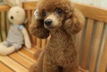 poodle haircut ideas