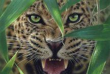 Leoparden/löwe