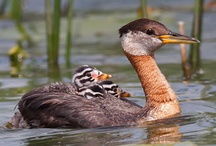 Dabchicks and Other Small Grebe