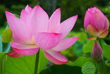 flower-lotus