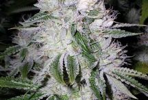Ganja Grow / Everything you need to grow the finest of cannabis