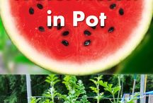 how to grow a watermelon in a pot