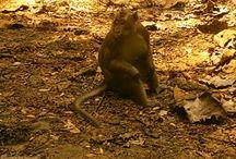 Malu-malu  cagar alam Pangandaran