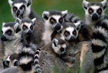 Lemur / Photos de lemur
