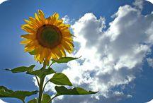 The World of Sunflowers
