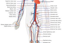 Vocabulary. Circulatory System
