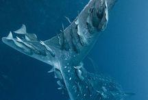 Animals - Whale shark