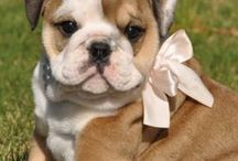 English Bulldogs/ Bullies