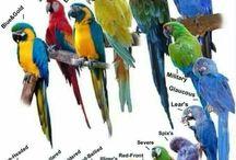 specie pappagalli