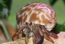 Hermit crab pets of lou and cj's