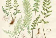 Botanical Drawings
