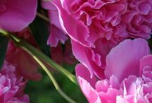 Peonies my love