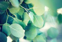 Eucalyptus radié / Les eucalyptus sont de grands arbres qui craignent le froid et aiment la lumière. Le tronc d'eucalyptus est bien droit, lisse et l'écorce grisâtre se détache facilement en longues bandes. Les fleurs sont remarquables tandis que les feuilles ont une odeur balsamique, camphrée et pénétrante. (M.Faucon)