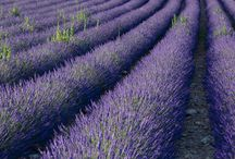 Lavender fields / Evelyn loved lavender but never made the trip to Provence, France