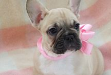 Fawn French Bulldogs / Fawn French Bulldogs and Puppies
