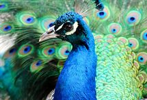 How I love peacocks / by Naima Mitchell