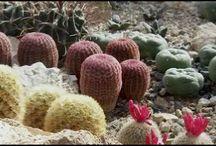 Klub kaktusárov SNV / Fotogaléria kaktusov, sukulentov a bonsajov členov Klubu kaktusárov v Spišskej Novej Vsi.