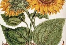 dekopaj ayçiçeği