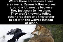 Wolves are awsome / I love wolves! Wolves and everything they resemble.  Humanity is destroying wildlife all around the planet. Animals going extinct every day. We will eventually join them if we don't stop hurting nature.