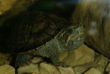 teknősök / pézsmateknős teknős