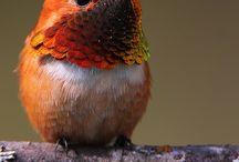 Kolibřík