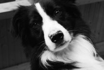 just a border collie