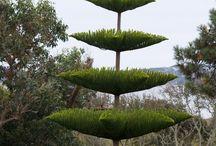 Araucarciaceae family / Gymnosperms