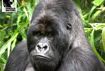 Silverbacks / An eastern male gorilla is physically mature and classified as a silverback at age 13.